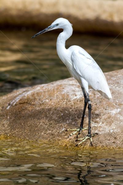 Cute little egret  Stock photo © digoarpi