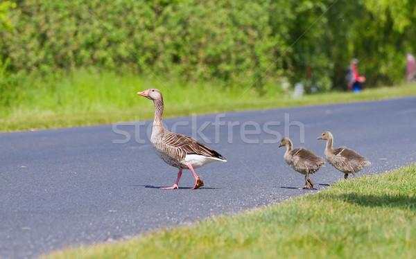 Stock photo: Goose family