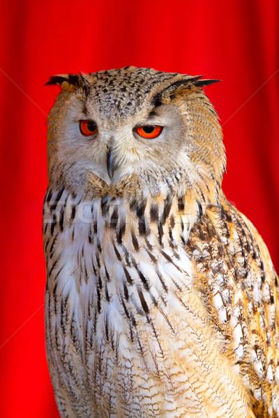 フクロウ 赤 眼 肖像 イーグル 立って ストックフォト © digoarpi