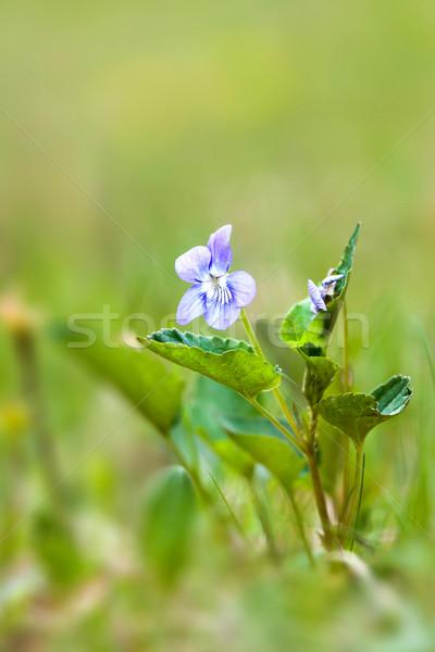 Viola Stock photo © digoarpi