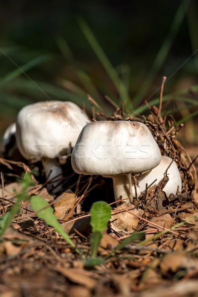 Mushroom Stock photo © digoarpi