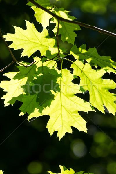 északi piros tölgy zöld levelek bajnok tavasz Stock fotó © digoarpi