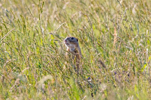 Ground Squirrel (Spermophilus citellus) Stock photo © digoarpi