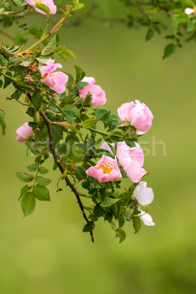 Dog rose flowers (Rosa canina) Stock photo © digoarpi