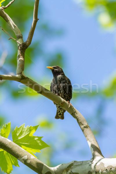 красивой филиала весна древесины птица синий Сток-фото © digoarpi