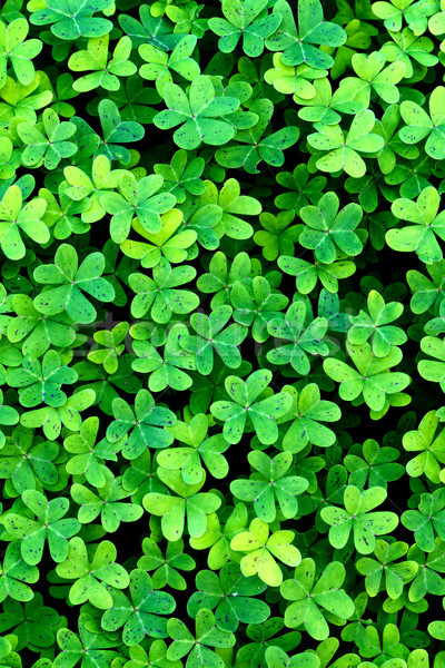 Trevo bom fresco campo grama Foto stock © digoarpi