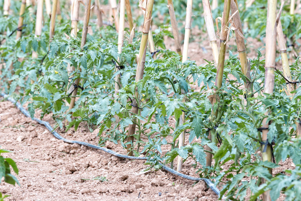 Tomato bush Stock photo © digoarpi
