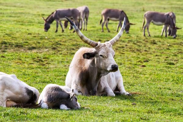 Herd Stock photo © digoarpi