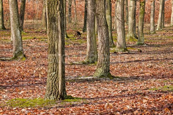 Rovere foresta albero foglia sfondo autunno Foto d'archivio © digoarpi