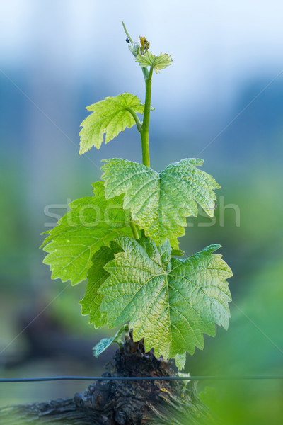 Viticulture Stock photo © digoarpi