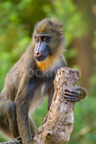 Mandrill Stock photo © digoarpi