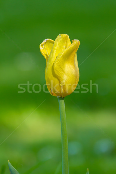 Beautiful yellow tulips in the garden at springtime Stock photo © digoarpi
