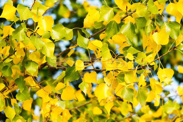 Pozostawia piękna topola wiosna lasu lata Zdjęcia stock © digoarpi