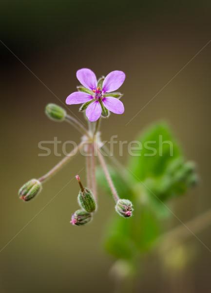 Vadvirág közelkép gyönyörű lila természet kert Stock fotó © digoarpi