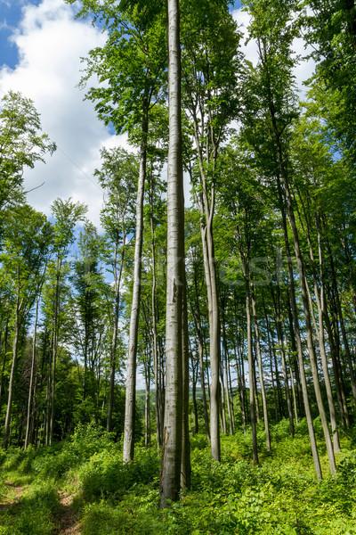 Beech Forest  Stock photo © digoarpi