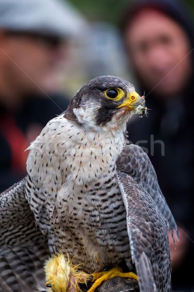 Falcon uccelli animali mondo occhi faccia Foto d'archivio © digoarpi