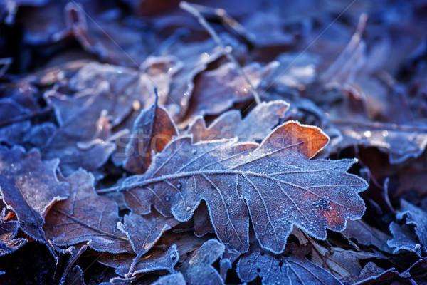 Meşe yaprakları kış orman doğa yaprak Stok fotoğraf © digoarpi