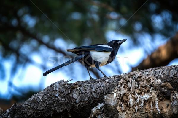 European magpie on the tree Stock photo © digoarpi