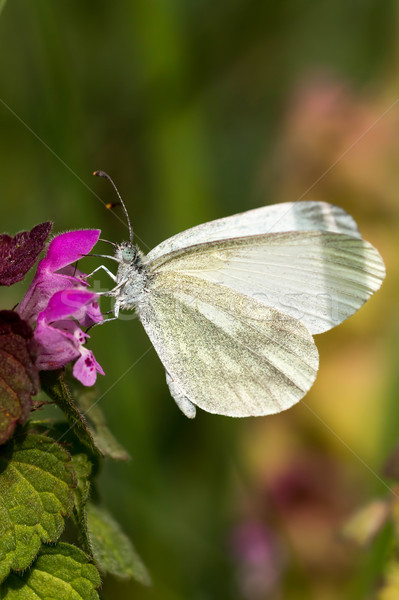 White Butterfly - Pieris brassicae Stock photo © digoarpi