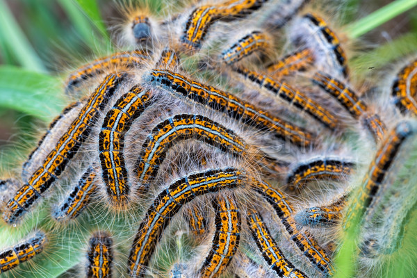 Young caterpillars in the nest (Lymantria dispar) Stock photo © digoarpi