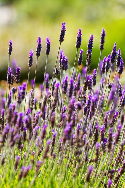 Lavendel bloemen bloem schoonheid plant Stockfoto © digoarpi