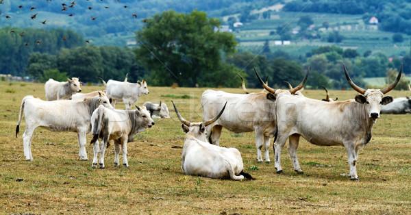 ストックフォト: ハンガリー語 · 美しい · グレー · 自然 · 髪 · 動物