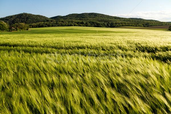 Cereal field Stock photo © digoarpi