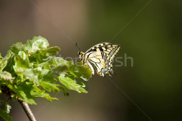 Beautiful swallowtail butterfly Stock photo © digoarpi