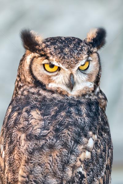 Eurasian eagle-owl (Bubo bubo)  Stock photo © digoarpi