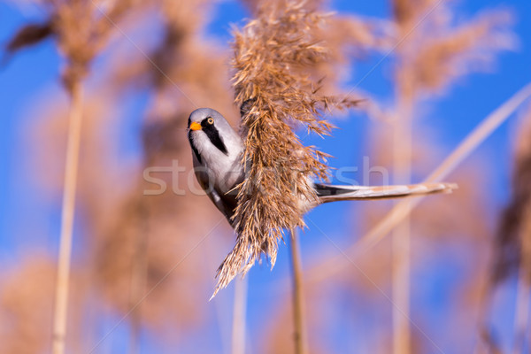 Bearded tit on the reed, male - reedling (Panurus biarmicus) Stock photo © digoarpi