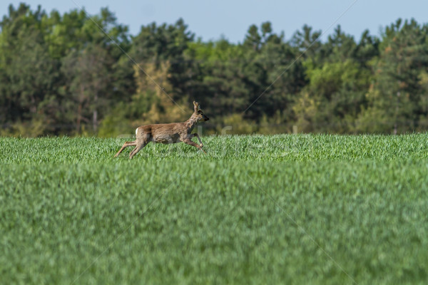 European roebuck in springtime on the cereal field with spring c Stock photo © digoarpi