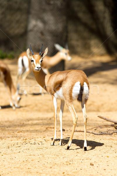 アフリカ 目 美 肖像 アフリカ 動物 ストックフォト © digoarpi