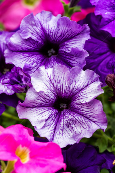 Colorful petunia flowers Stock photo © digoarpi