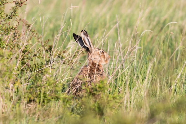 Rabbit Stock photo © digoarpi