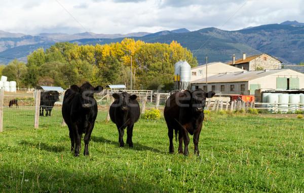 Cows Stock photo © digoarpi
