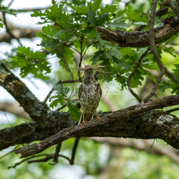 Fieldfare  (Turdus pilaris) Stock photo © digoarpi