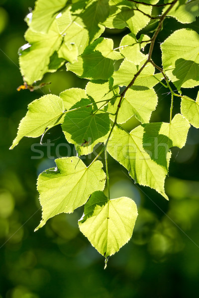 Linden, Small-leaved Lime Stock photo © digoarpi