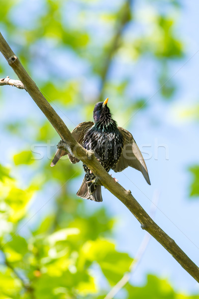 European starling on the branch Stock photo © digoarpi