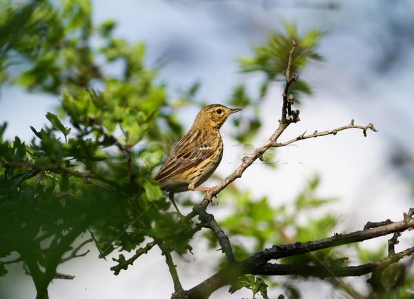 Dal rigó fa természet levél madár Stock fotó © digoarpi