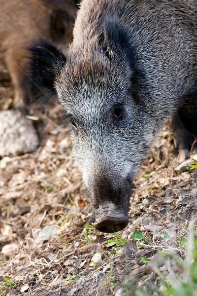 Wild boar Stock photo © digoarpi