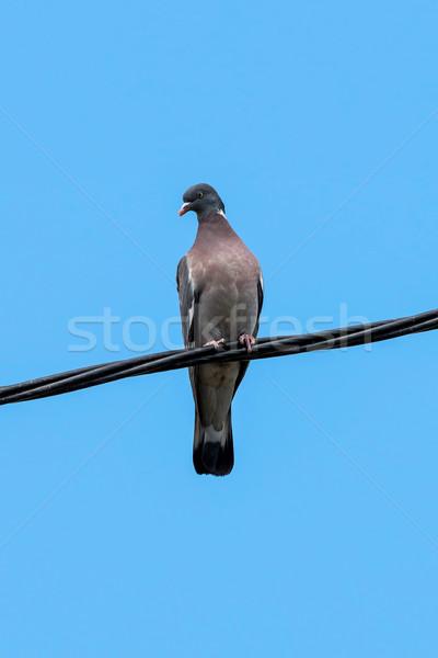 Wood Dove  Stock photo © digoarpi