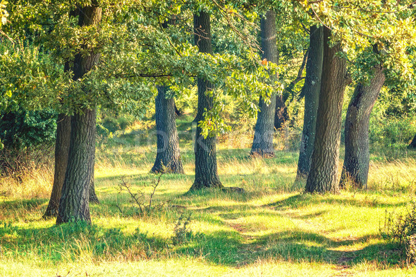 Green forest with oak trees Stock photo © digoarpi