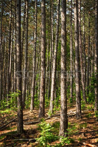 Pino foresta giovani primavera legno sfondo Foto d'archivio © digoarpi