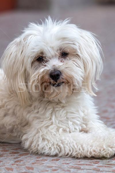 Maltese dog  Stock photo © digoarpi