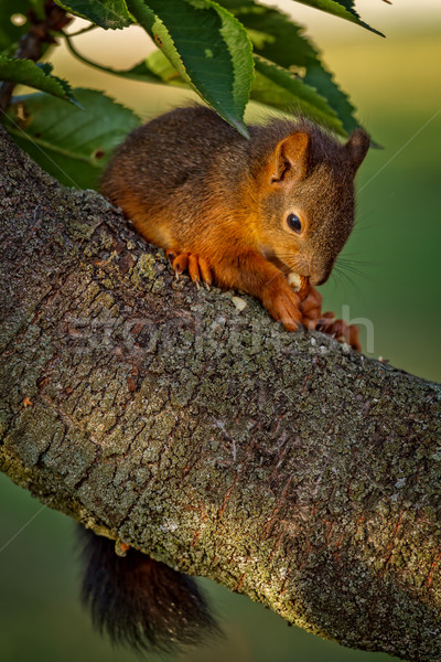 Red squirrel standing on the tree and eating Stock photo © digoarpi