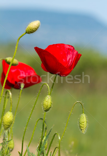 Poppy flowers Stock photo © digoarpi