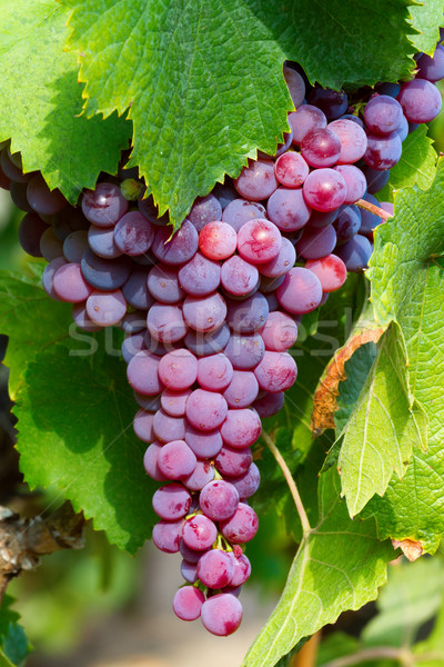 Grapes Stock photo © digoarpi