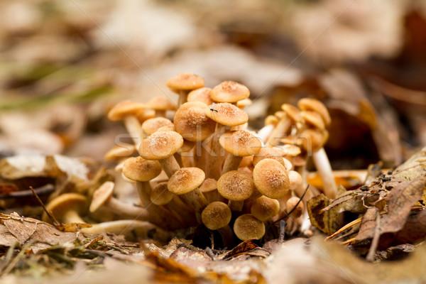 Mel fungo jovem floresta natureza paisagem Foto stock © digoarpi