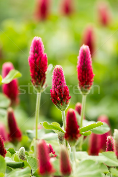 клевера цветок красивой цветы Сток-фото © digoarpi