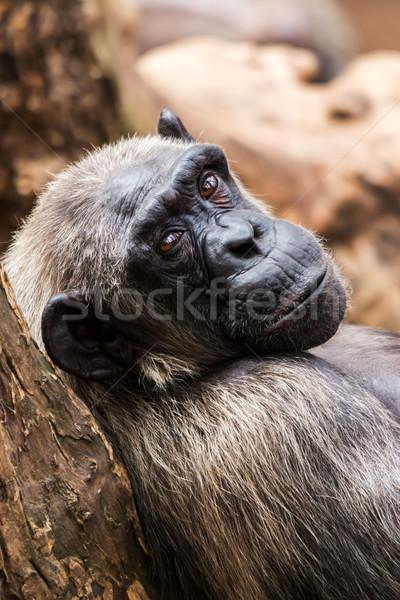Oude chimpansee dierentuin Barcelona boom hout Stockfoto © digoarpi